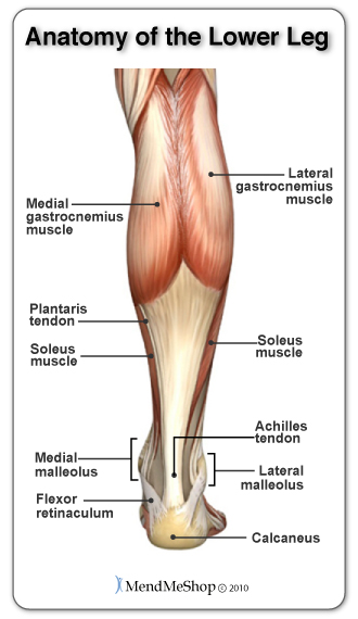Achilles Tendon attaches the heel bone to the gastrocenemius and soleus muscles.